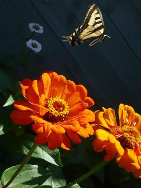 Photograph -  Butterfly In Flight by 'REA' Gallery