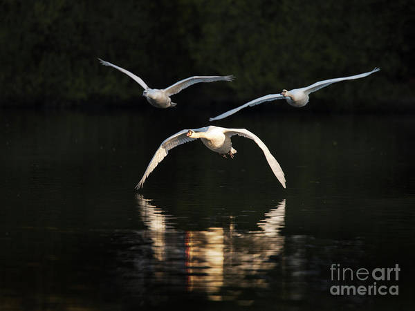 Swan Photograph - In Formation by Richard Garvey-Williams