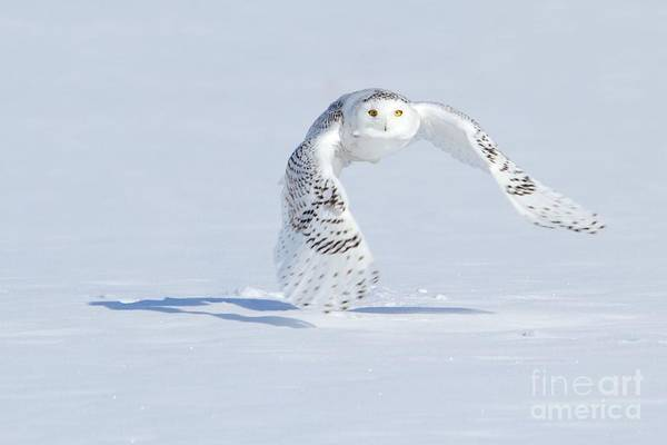 Owl In Flight Photograph - In Her Sight by Heather King