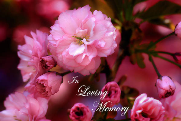 Photograph - In Loving Memory Spring Pink Cherry Blossoms by Shelley Neff