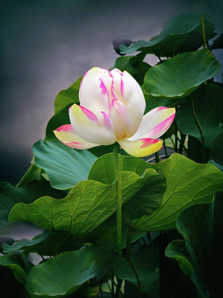 Pink Lotus Flower Photograph - In The Balance by Jessica Jenney