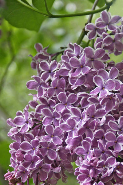 Photograph - In The Garden. Lilac by Ben and Raisa Gertsberg