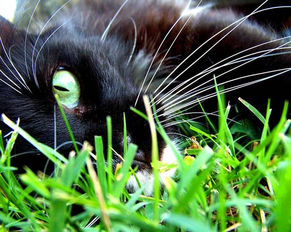 Black Cats Photograph - In The Grass by Jai Johnson