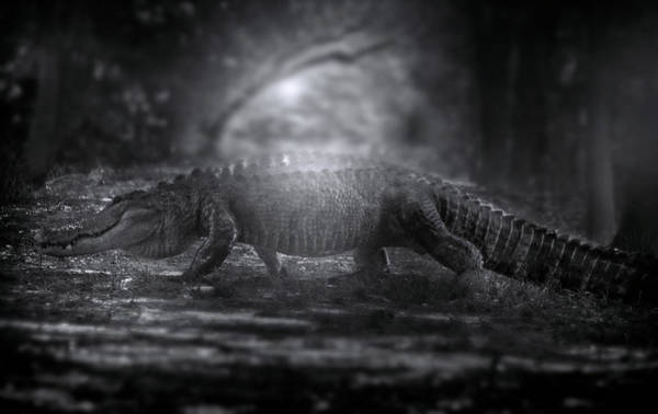American Crocodile Photograph - In The Hall Of The Swamp King by Mark Andrew Thomas