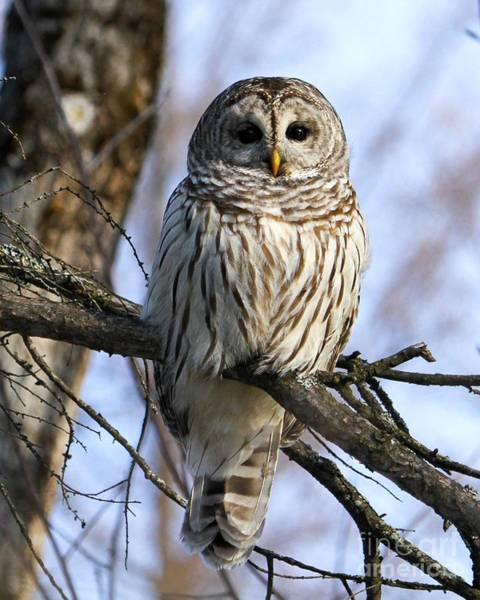Barred Owl Photograph - In The Morning Light by Heather King