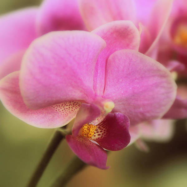 Photograph - In The Pink by Jessica Jenney