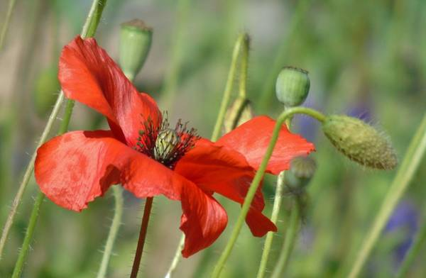 Photograph - In The Poppy Garden by Barbara St Jean