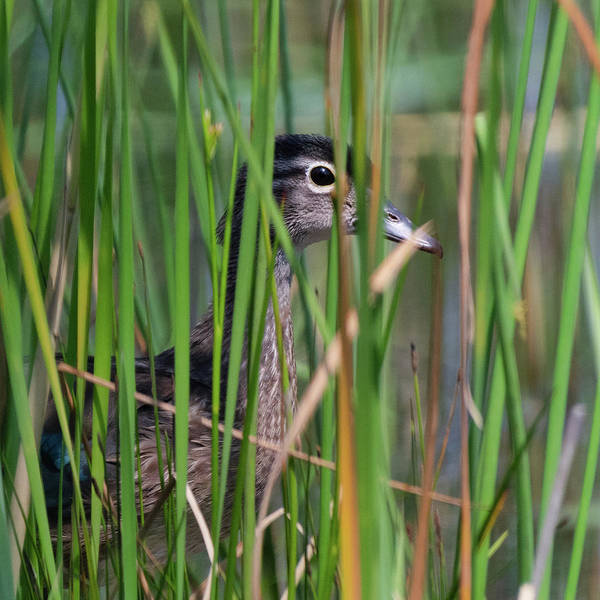 Photograph - In The Reeds Square by Bill Wakeley