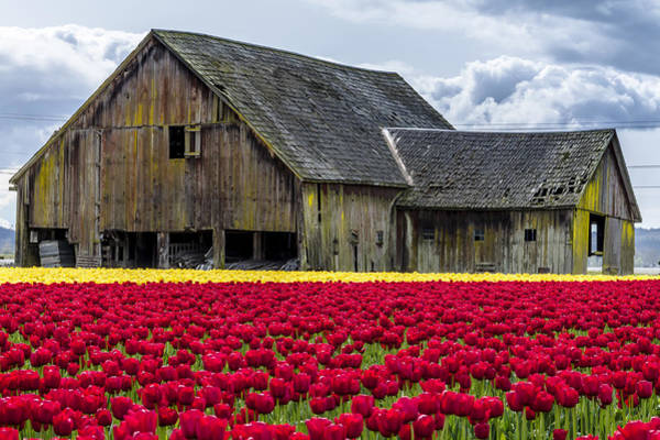 Photograph - In The Tulip Field by Teri Virbickis