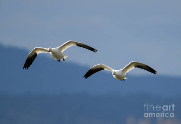 Snow Goose Photograph - Inbound by Mike Dawson