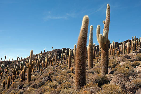 Photograph - Incahuasi Island View With Giant Cacti by Aivar Mikko