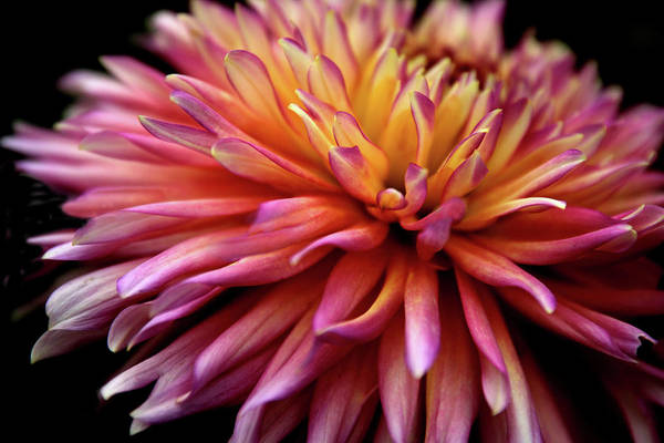 Photograph - Incandescent Dahlia by Jessica Jenney
