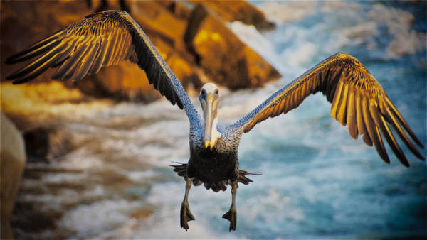 Photograph - Incoming, California Brown Pelican by Flying Z Photography by Zayne Diamond