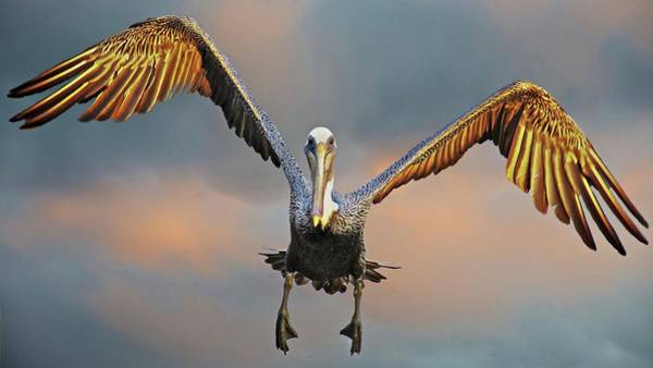 Photograph - Incoming II, California Brown Pelican by Flying Z Photography by Zayne Diamond
