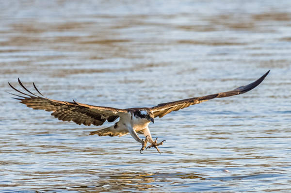 Wall Art - Photograph - Incoming Osprey by Lori Coleman