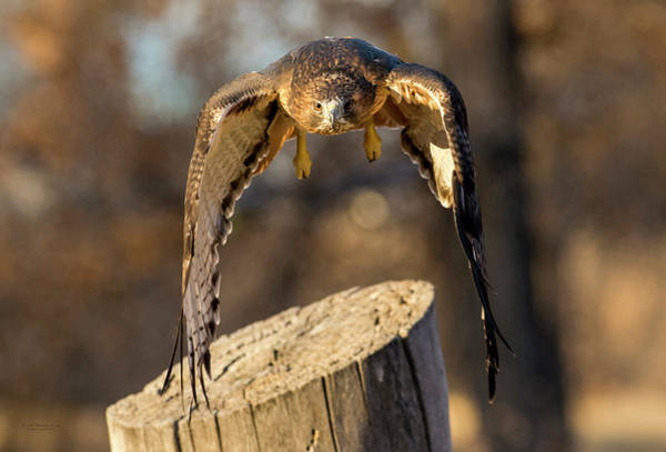 Photograph - Incoming Red-tailed Hawk by Judi Dressler