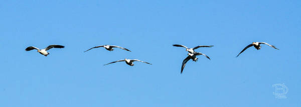 Wall Art - Photograph - Incoming Snow Geese Flight by Daniel Hebard