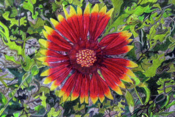 Wall Art - Drawing - Indian Blanket by Beverly Fuqua