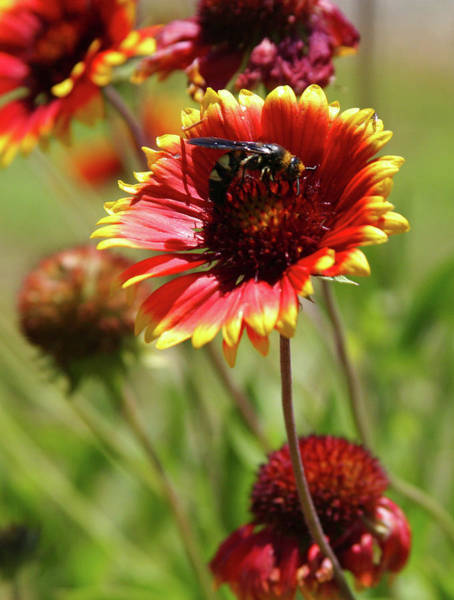 Photograph - Indian Blanket Blossom And Wasp 0508 H_2 by Steven Ward