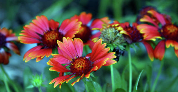 Photograph - Indian Blanket Ribbon 2220 H_2 by Steven Ward