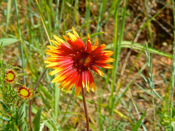 Photograph - Indian Blanket Wildflower by Dan Miller
