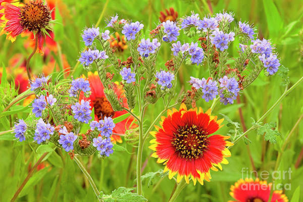 Photograph - Indian Blanketflowers Gaillardia Puchella by Dave Welling
