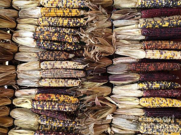 Photograph - Indian Corn by Robin Maria Pedrero