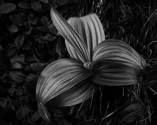 Photograph - Indian Hellebore 2 by Trever Miller