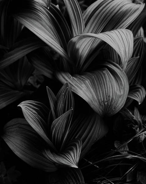 Photograph - Indian Hellebore 4 by Trever Miller