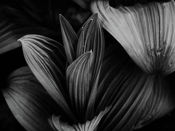 Photograph - Indian Hellebore 5 by Trever Miller