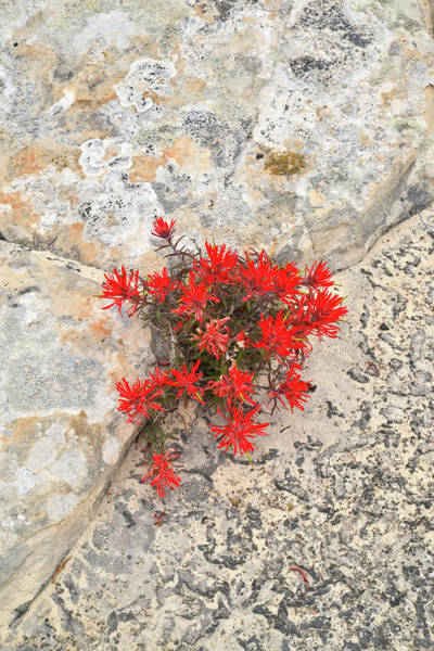 Photograph - Indian Paintbrush by Ray Mathis