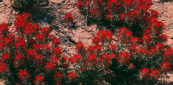 Desert Paintbrush Photograph - Indian Paintbrush Ut by Panoramic Images