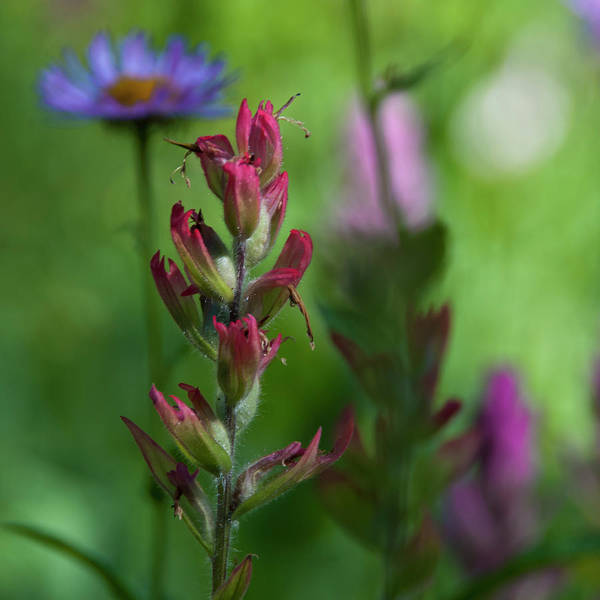 Photograph - Indian Paintbrush With Beautiful Wildflower Bokeh by Cascade Colors