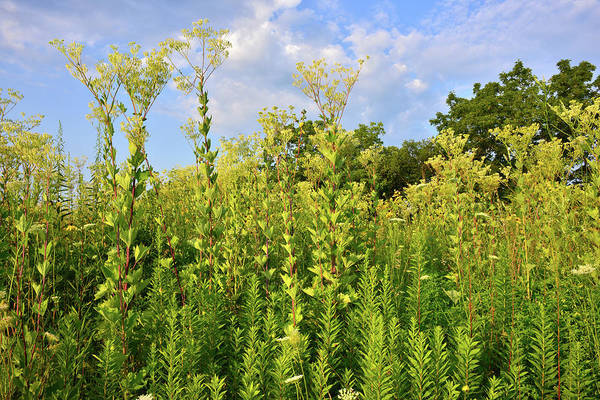 Photograph - Indian Plantain At Marengo Ridge Conservation Area by Ray Mathis