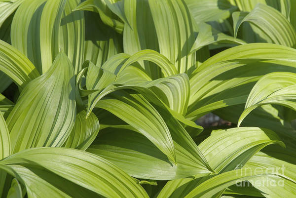 Photograph - Indian Poke - Veratrum Veride-  by Erin Paul Donovan