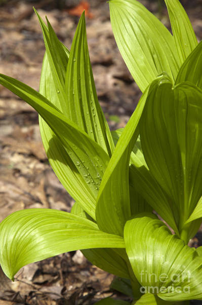 Photograph - Indian Poke -veratrum Veride- by Erin Paul Donovan
