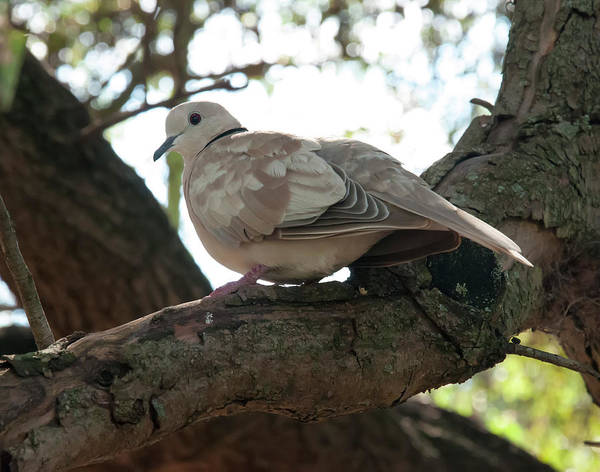 Photograph - Indian Ringneck Dove by Chris Flees