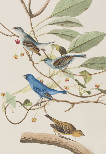 Ornithological Wall Art - Painting - Indigo Bird by John James Audubon