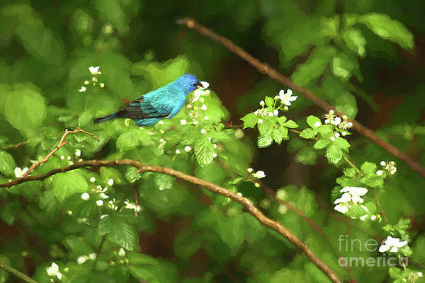Wall Art - Photograph - Indigo Bunting And Black Berry Blooms by Darren Fisher