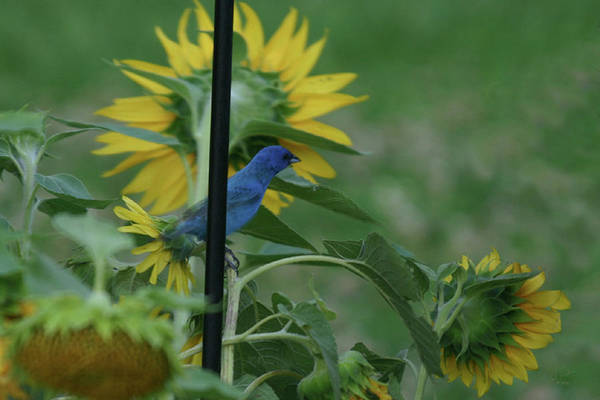Photograph -  Indigo Bunting by Ericamaxine Price