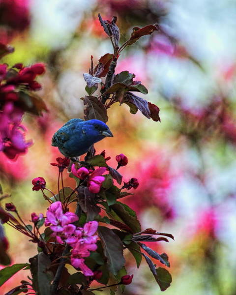 Photograph - Indigo Bunting On The Lookout by Dale Kauzlaric
