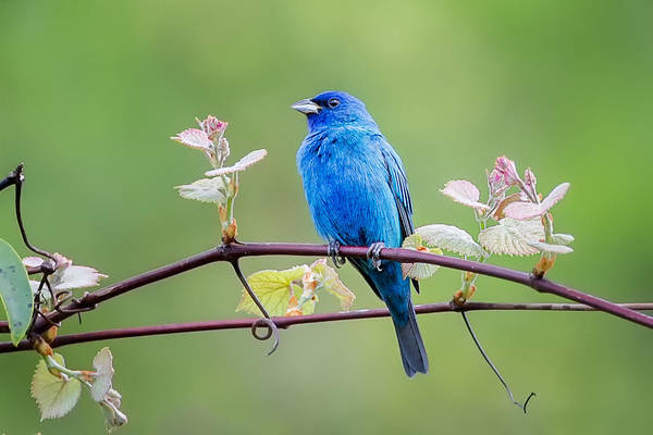 Bunting Photograph - Indigo Bunting Perched by Bill Wakeley