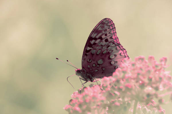 Photograph - Infrared Fritillary 2 by Brian Hale