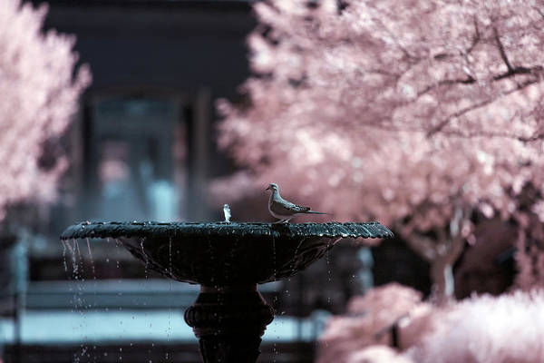 Photograph - Infrared Morning Dove by Brian Hale