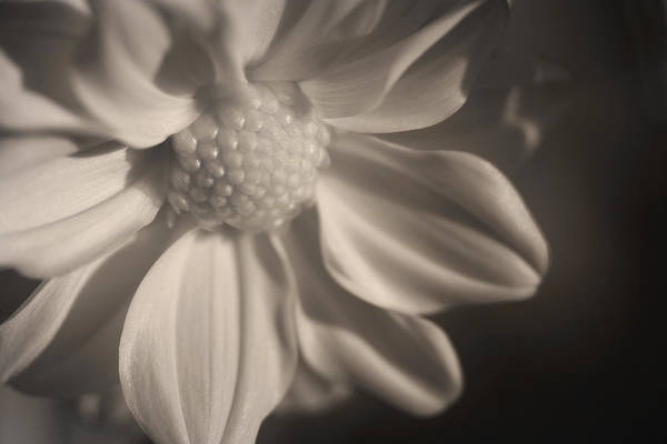 Photograph - Infrared Mum by Bob Cournoyer
