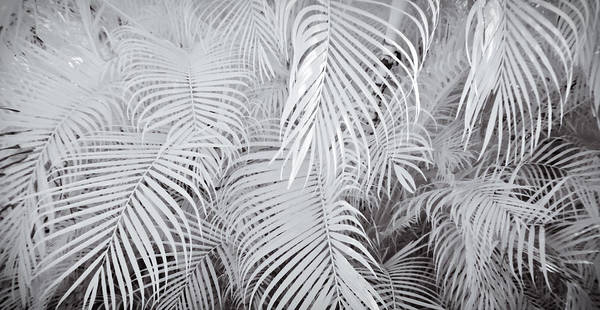 Photograph - Infrared Palm Abstract by Adam Romanowicz