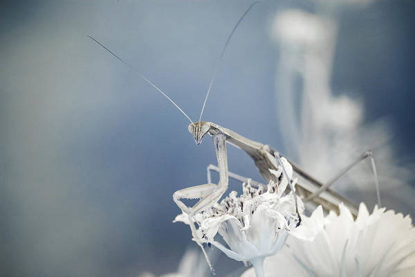 Photograph - Infrared Praying Mantis 1 by Brian Hale