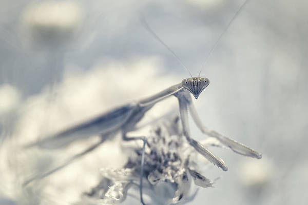 Photograph - Infrared Praying Mantis 2 by Brian Hale