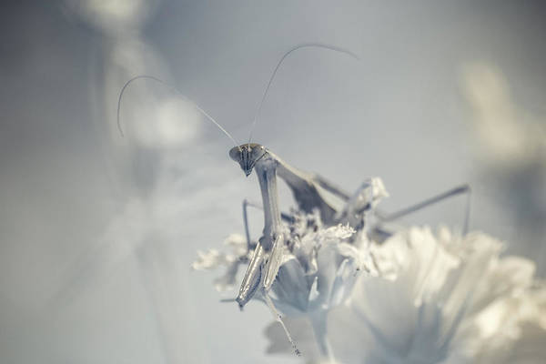 Photograph - Infrared Praying Mantis 3 by Brian Hale