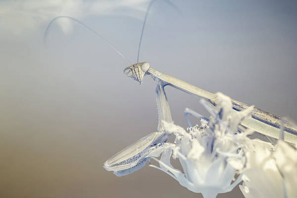 Photograph - Infrared Praying Mantis 4 by Brian Hale